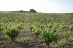 Capitelles Vineyards