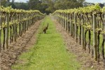 Morambro Vineyards
