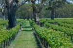 mmonster vineyard01