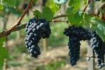 pinino grapes
