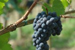 pinino grapes 2