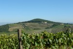 pinino vineyards 2