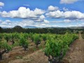 gamba vineyards 01