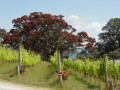 KennedyPoint vineyard with Pohutakawa in bloom