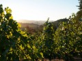 In the vines at Trevas Vineyard