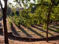 Jakes Creek Vineyard 2