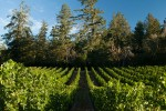 Lakeview Vineyard 1