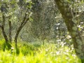 The olive groves at Piemaggio in the spring. Chianti Classico Tuscany.  1920px