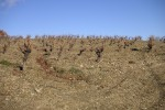 castelmaure vineyard05
