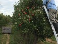 black bird cider works picking