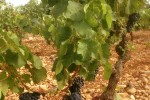 champauvins old vines syrah