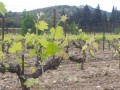 segries vineyard02