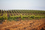 pomerols vineyard02
