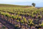 pomerols vineyard03