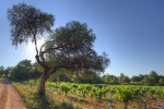 pomerols vineyard04