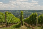 weinberge sommer