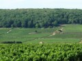 maurice ecard vineyards