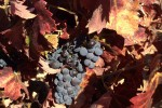 zanon zin on vine