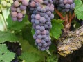 harney lane old vine zin grapes