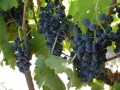 betz family boushey syrah at harvest