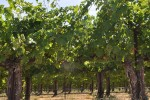 betz family vines at klipsun