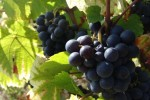 domaine manoir du carra grapes