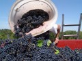 domaine manoir du carra harvesting