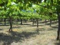 valminor vineyard 4