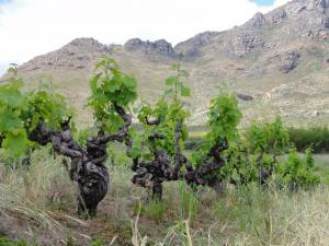 old bush vines kasteelberg mountain