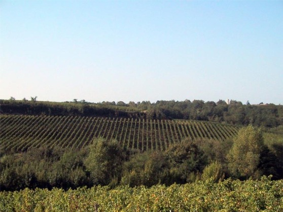 suau vineyard2